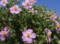 imagen La jara, un arbusto de bellas flores
