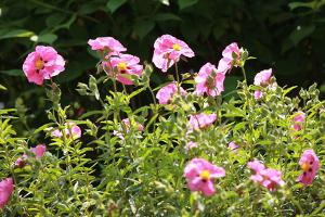 La jara un arbusto de bellas flores for Www jardiner malin fr