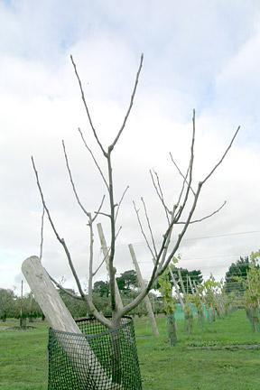 poda de invierno de manzanos y perales1