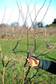 poda de invierno de manzanos y perales3