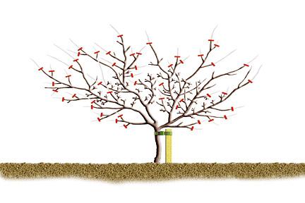 poda de invierno de manzanos y perales4