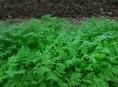 imagen Mejorar la tierra con abono verde