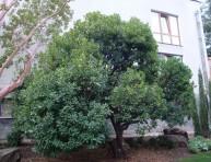 imagen Un arbusto muy sabroso: el madroño