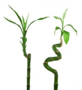 Árbol del dragón 2