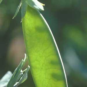 Cultivo de guisantes 3