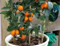 imagen El kumquat o naranjo chino