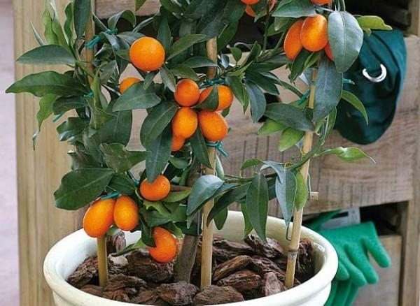Kumquat o naranjo chino-01