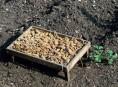 imagen La germinación de la patata