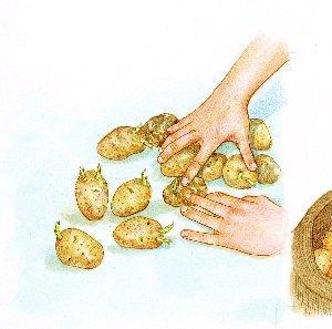 Germinación de la patata02