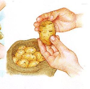 Germinación de la patata03