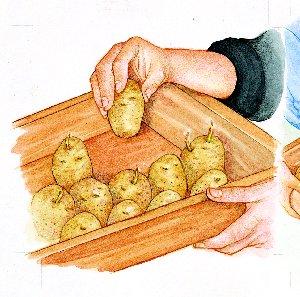 Germinación de la patata04