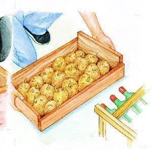 Germinación de la patata05