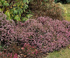 Arbustos y plantas para borduras sin mantenimiento - Arbustos perennes con flor ...