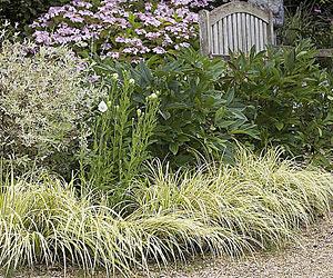 Arbustos y plantas para borduras sin mantenimiento - Plantas perennes exterior ...