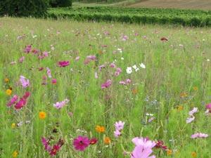 Prado florido en tu jardín 1