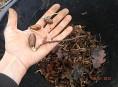 imagen Cómo germinar bellotas