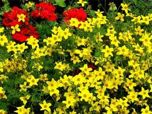 Verbenas amarillas 1