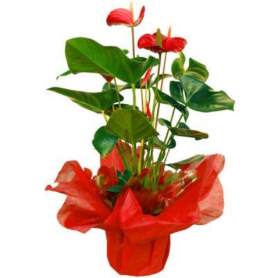 5 plantas para regalar a mam