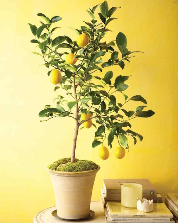 citricos-en-interior-2