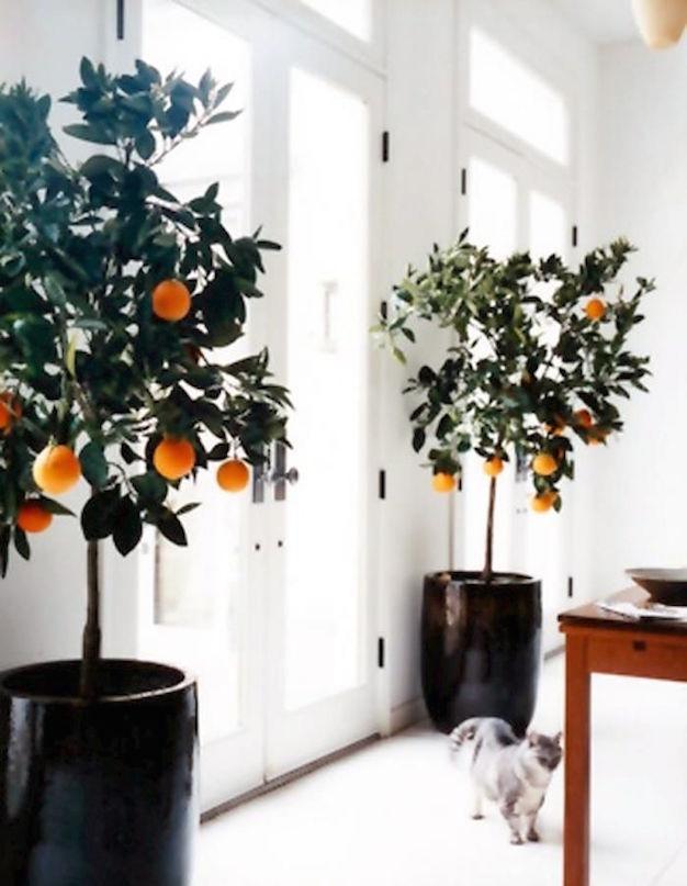 citricos-en-interior-4
