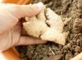 imagen Cómo cultivar jengibre en casa o en tu jardín