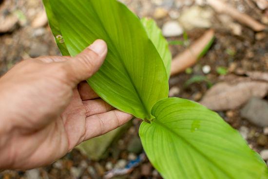 Cultivar jengibre 7