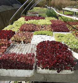Elegir plantones para el huerto 1