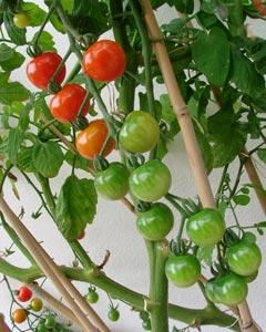 Tutorar tomateras 1