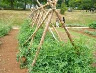 imagen Cómo entutorar las tomateras