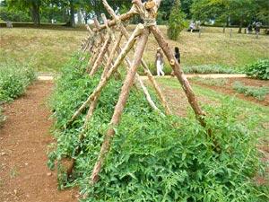 Tutorar tomateras 3