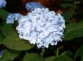 "imagen Descubriendo a la hortensia ""France bleu"""
