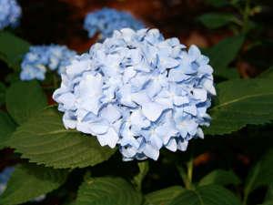 Hortensia bleu de france 1