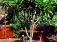 imagen Frangipani: un arbusto exótico para interiores