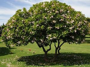 El arbusto Frangipani 3