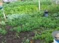 imagen Asociación de hierbas aromáticas con verduras y hortalizas