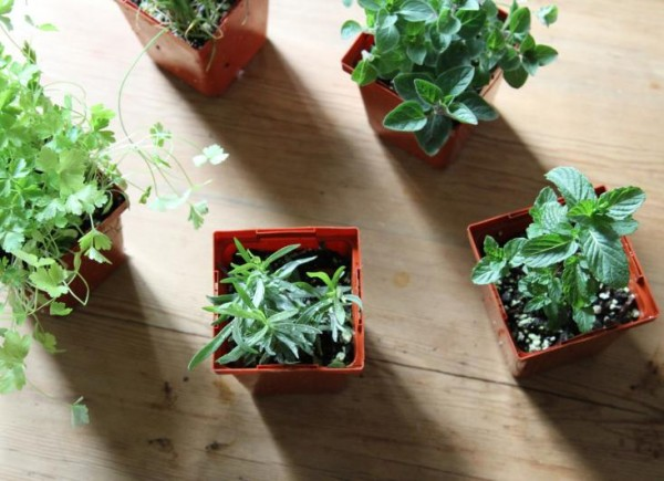 Hierbas aromáticas de sombra 1
