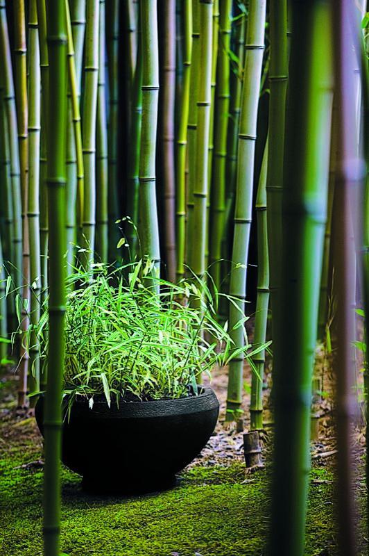 Hierbas ornamentales cultivadas en maceta for Garden design using bamboo
