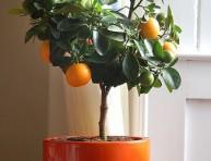 imagen Los cítricos como plantas de interior