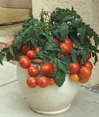 Tomates para cultivar en maceta 1