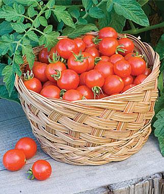 Tomates para cultivar en maceta 4
