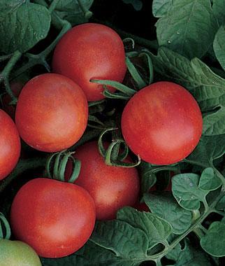 Tomates para cultivar en maceta 6