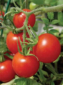 Los mejores tomates para cultivar en maceta - Tomates cherry en maceta ...