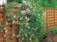 imagen Recubrir muros y cercas con rosales trepadores