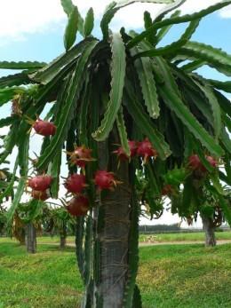 Conoce a la pitahaya - Arbre fruit du dragon ...