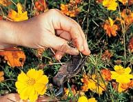 imagen Cortar las flores marchitas a lo largo del verano