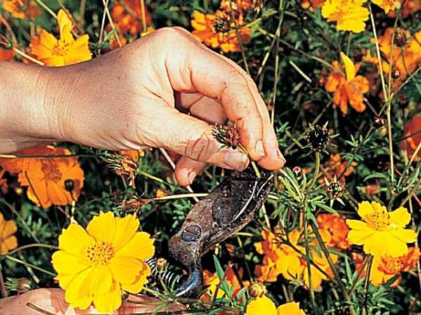 Quitar las flores marchitas 4