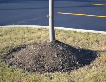 Mulching erróneo de árboles jóvenes 1