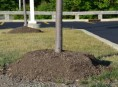 imagen El mulching erróneo de los árboles jóvenes