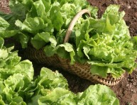 imagen El momento de sembrar escarolas