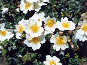 Rosas tapizantes 1